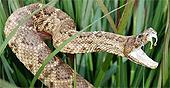 rattlesnake88